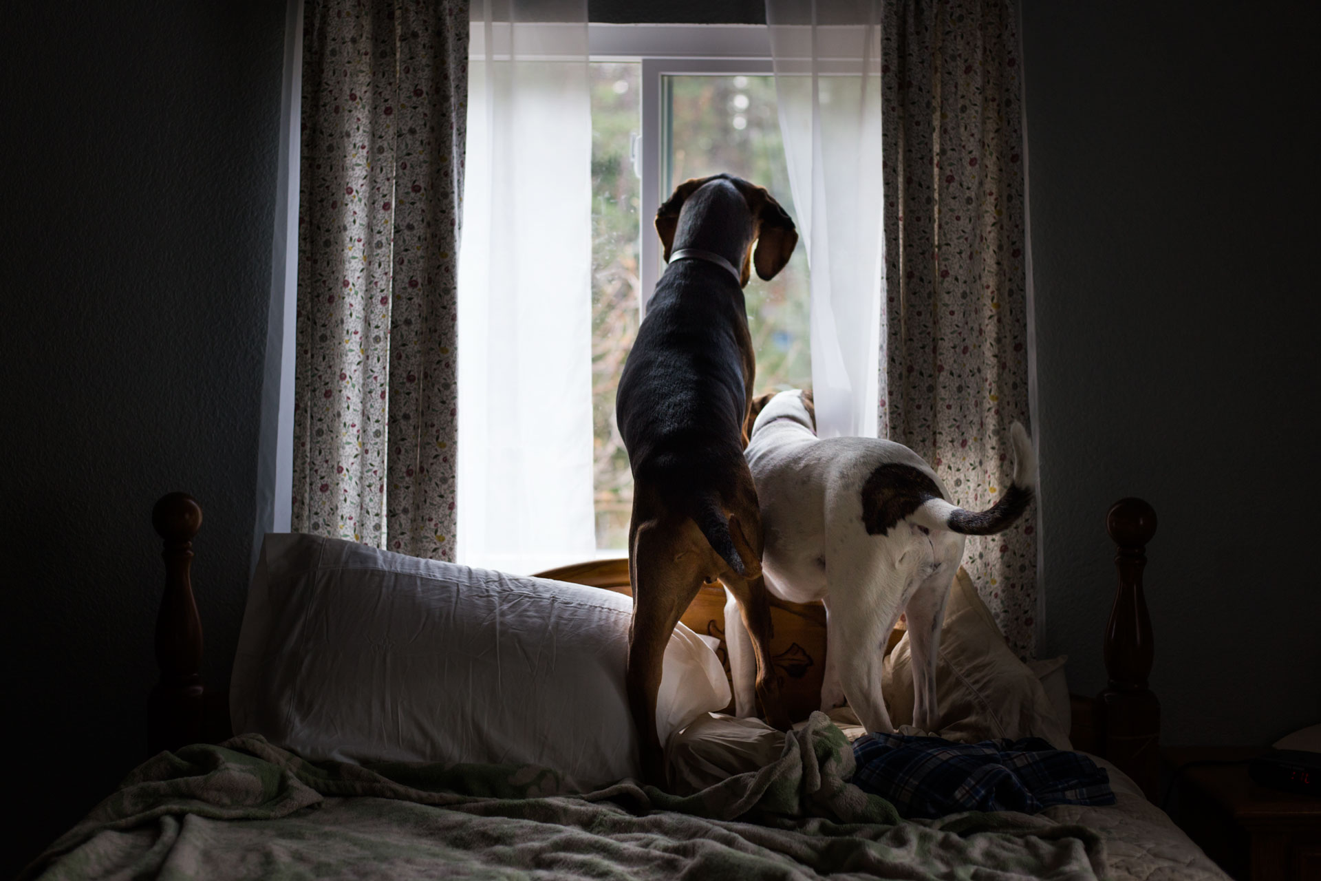 Two dogs standing on a bed and looking out a window