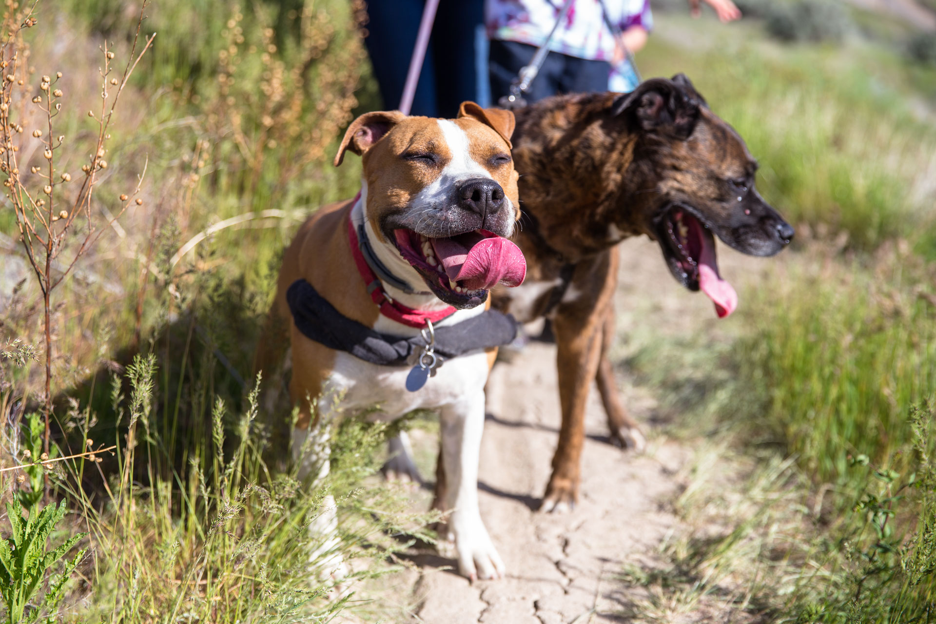 Two dogs looking towards the camera and smiling while on a hike