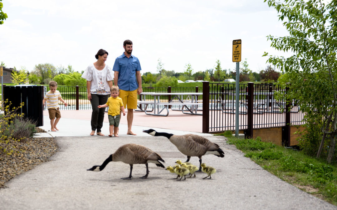 Family walking at the park towards the camera and a family of geese walking with babies in front of them on the path